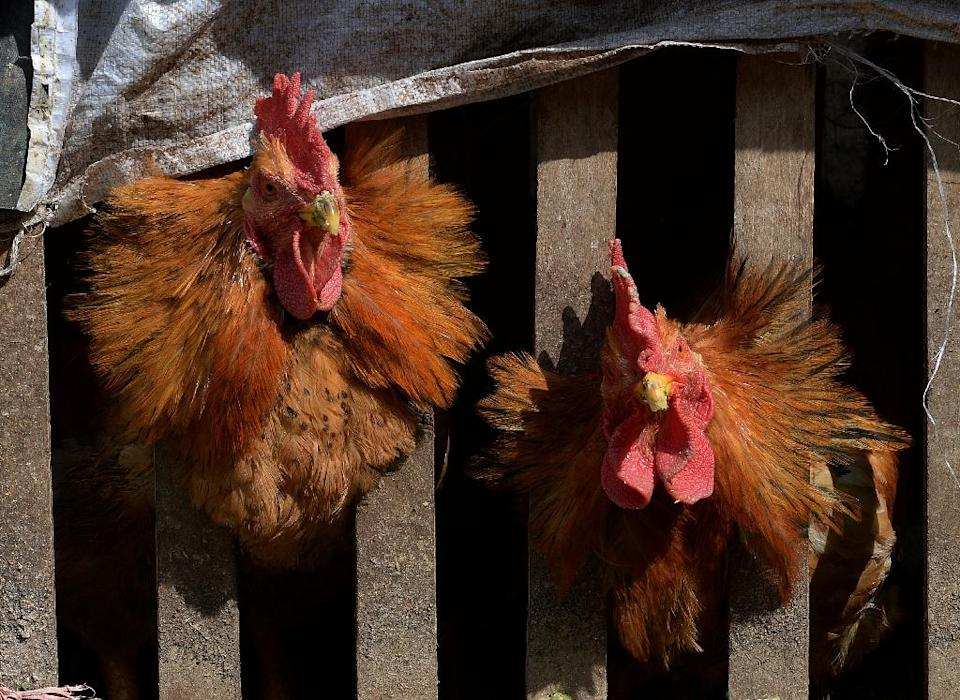 Chinese government researchers are using chickens, fish and toads to try to predict earthquakes, media reports (AFP Photo/Mark Ralston)