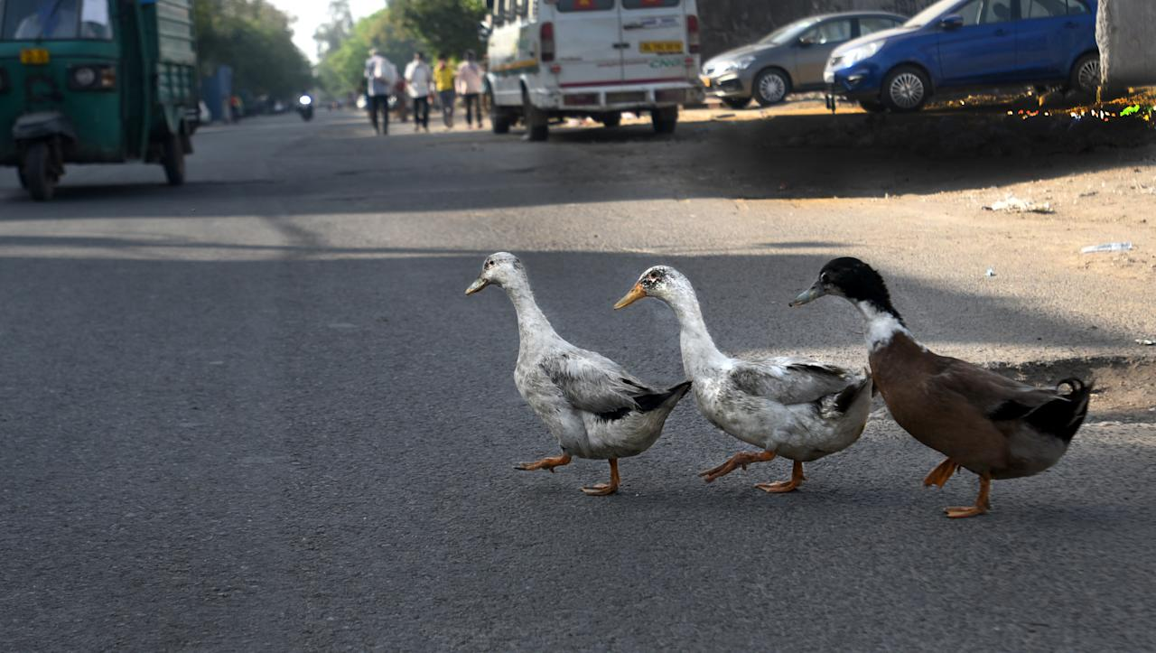 Ducks are seen on a deserted road at Mayur Vihar in New Delhi. (Photo by Sushil Kumar/Hindustan Times via Getty Images)