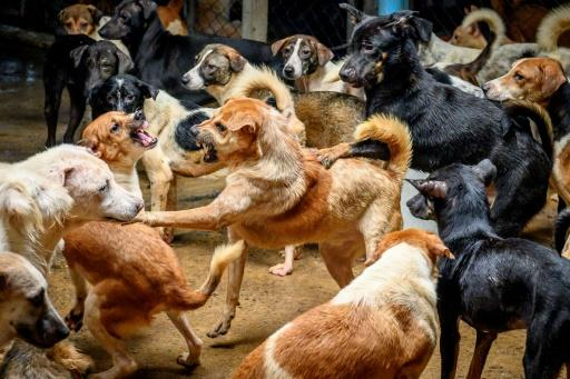 Fights frequently erupt between the animals at Auntie Ju's shelter outside Bangkok