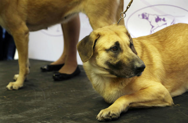 A chinook is introduced during a news conference in New York, Wednesday, Jan. 15, 2014. The chinook is one of three new breeds that will be competing at the 138th Westminster Dog Show starting Feb. 10, 2014. (AP Photo/Seth Wenig)