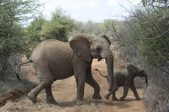 After a 22-month pregnancy, an African elephant calf is nearly inseparable from its mother. If the calf is a female, it may stay with her for life.