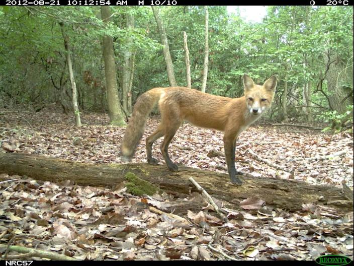 A red fox photographed with a trap camera in central North Carolina.