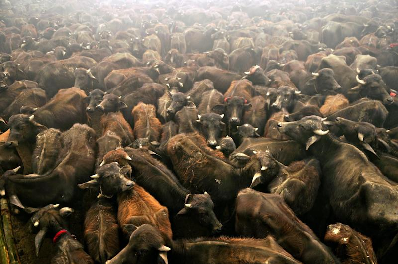 Sacrificial buffaloes stand in a holding pit before being slaughtered as offerings to the Hindu goddess Gadhimai in Bariyapur village in Bara district on November 24, 2009