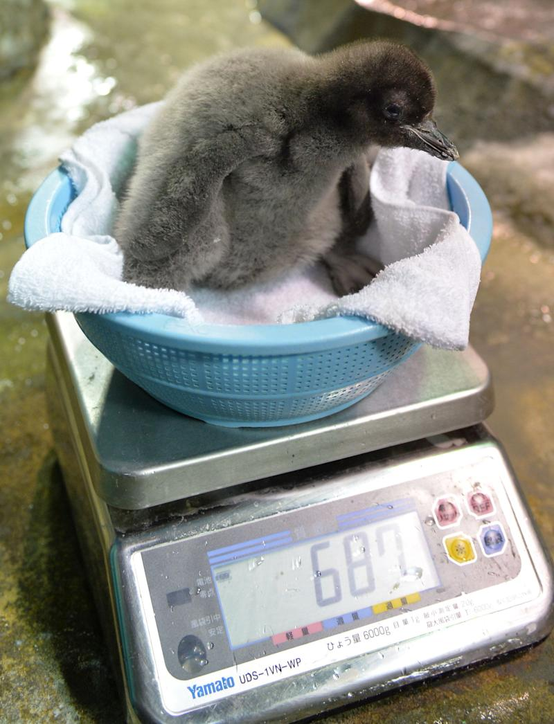 A baby Adelie penguin, who was born on July 10, 2013, is weighed at the Osaka Aquarium Kaiyukan on July 26, 2013. Visitors can see the 680 grams baby penguin and other penguins living in a water tank surrounded by frozen rocks and ice. (KAZUHIRO NOGI/AFP/Getty Images)