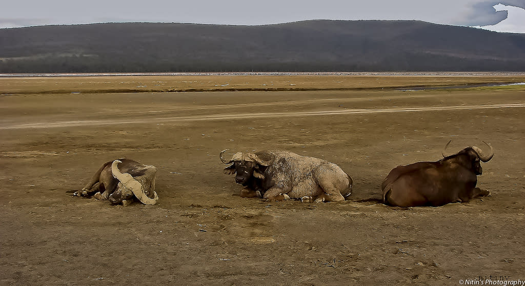 Their horns caked with mud, Cape Buffalos rest at Lake Nakuru, Kenya. Unpredictable in nature and dangerous to humans, it is counted among Africa's Big Five and answers to the monikers of Black Death or Widow Maker. Typically, it takes multiple lions to bring down a single adult Cape Buffalo.
