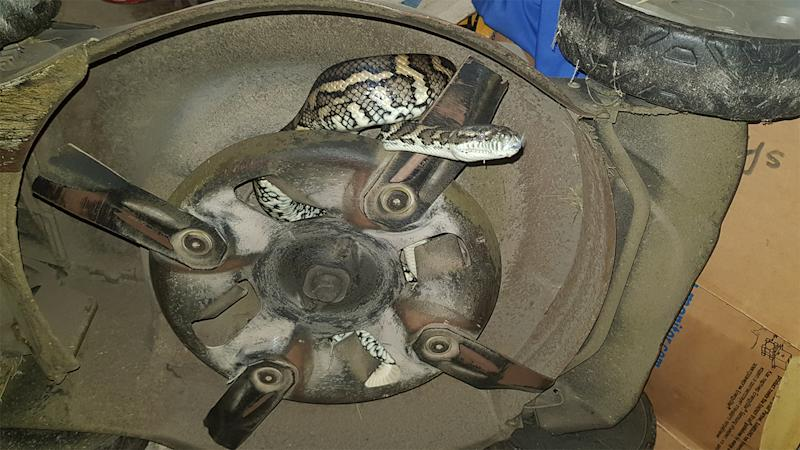 Snake caught in Bellbowrie: The 1.5 metre carpet python (pictured) was curled up inside a lawnmower.