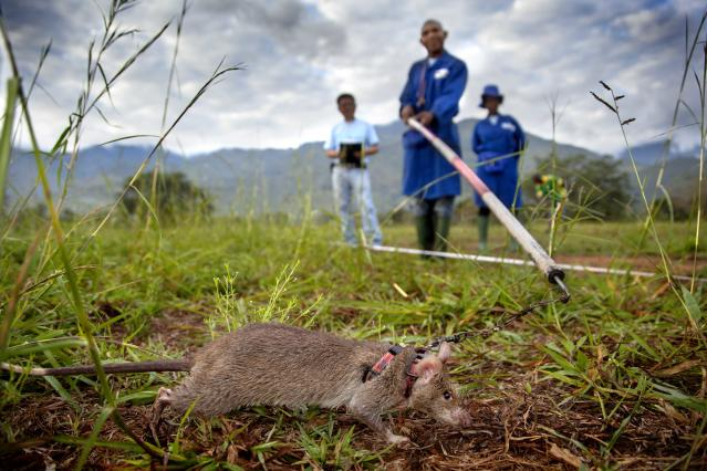 An APOPO rat trains in Morogoro, Tanzania. (Photo: APOPO)