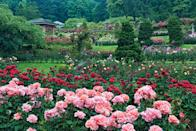 """<p><strong>Start us off with an overview.</strong><br> A visit to the Rose City without a stop at the Rose Garden is sacrilege. If your timing's off to catch the more than 10,000 bushes in their full glory, the expansive views and general splendor of the nearly-five-acre garden are still worth a visit, even in the dead of winter. Founded in 1917 to help preserve European hybrid roses people feared would be lost to persistent World War I bombing raids, the garden flourished, and has since helped firmly embed its beautiful tenants in Portland's cultural identity: Sip Steven Smith Teamaker's Rose City Genmaicha, tear into the the pistachio-rose croissant at Nuvrei, get permanent bicep petals at New Rose Tattoo shop, and cheer on the fierce all-female Rose City Rollers roller derby league.</p> <p><strong>Sounds like fun. Are there any specific things we should be sure to check out?</strong><br> Seek out the serene Shakespeare Garden, hidden behind heavy hedges on the south end of the park, below the Rose Garden Store. Donated by the LaBarre Shakespeare Club, it was dedicated on the bard's birthday in 1946, and planted exclusively with flowers, herbs, and trees named in his plays. Requirements for residency are looser these days, and includes roses named for Shakespearean characters—an appropriate allowance in honor of the guy who so famously wrote, """"Of all flowers methinks a rose is best."""" Even with such ethereal surrounds, the lush little garden holds its own—so much so that many a midsummer night's dream wedding take place here.</p> <p><strong>Do you have any tips for navigating the park?</strong><br> Arrive early in the day. Park in the lot below the <a href=""""https://www.cntraveler.com/activities/portland/washington-park?mbid=synd_yahoo_rss"""" rel=""""nofollow noopener"""" target=""""_blank"""" data-ylk=""""slk:Washington Park"""" class=""""link rapid-noclick-resp"""">Washington Park</a> tennis courts, then descend a stone staircase into the dramatically terraced garden, getting a the lay of """