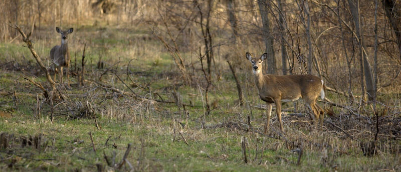 Authorities are urging hunters to take extra precautions to minimize potential exposure to the disease while handling deer carcasses. (ASSOCIATED PRESS)
