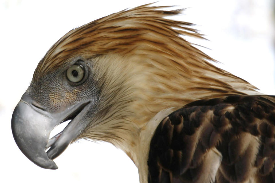 """FILE - This Sunday, March 14, 2010 file photo shows """"Girlie,"""" a 29-year-old Philippine Eagle at the Parks and Wildlife Center at Manila's Quezon City. An analysis of data from the International Union for the Conservation of Nature and BirdLife International released on Monday, Aug. 30, 2021 found that 30% of 557 raptor species worldwide are considered near threatened, vulnerable or endangered. Eighteen species are critically endangered, including the Philippine eagle, researchers found. (AP Photo/Bullit Marquez)"""