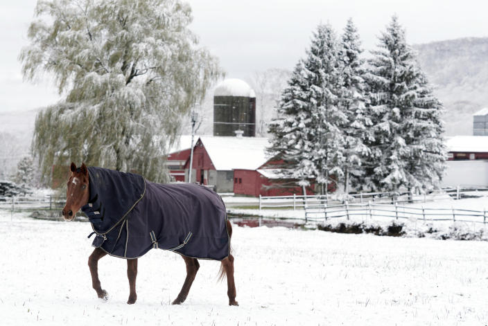A horse grazes after a snowfall at Wirtes Farm in Lanesborough, Mass., Friday, Oct. 30, 2020. The first snowfall of the season hit New England with a light dusting. (Ben Garver/The Berkshire Eagle via AP)