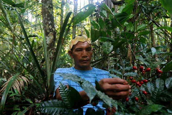Valdiney Satere, a leader of the Satere Mawe indigenous tribe, gathers caferana, a plant used in medicinal remedies in Brazil's Amazon region (AFP Photo/Ricardo OLIVEIRA)