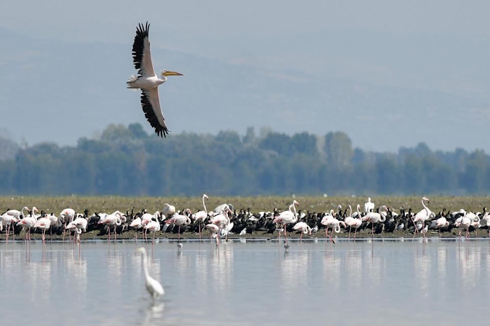 Flocks of pelicans and flamingos in the lake of Kerkini, near the Belles mountain (Belasitsa in Bulgarian) at the Greece and Bulgaria's border