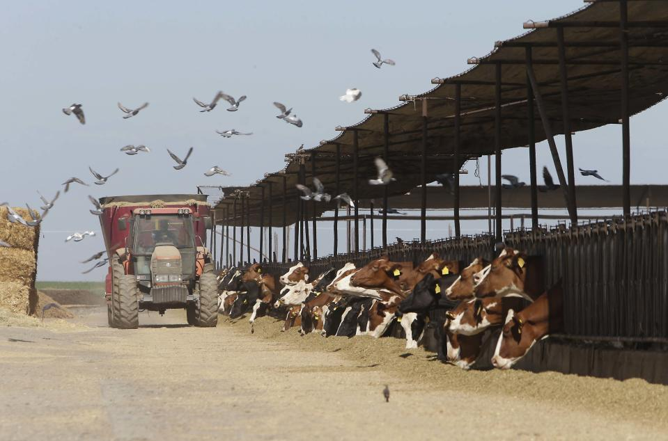 In this photo taken Tuesday, July 16, 2013, cows feed at a dairy owned by Lucas Loganberg and his family, that sits on one of the proposed routes of California's high-speed rail system, near Hanford, Calif. The state needs to buy hundreds of properties or seize them through eminent domain to make way for the rail line, causing many owners to become resentful after years of what they say are confusing messages about the project. (AP Photo/Rich Pedroncelli)