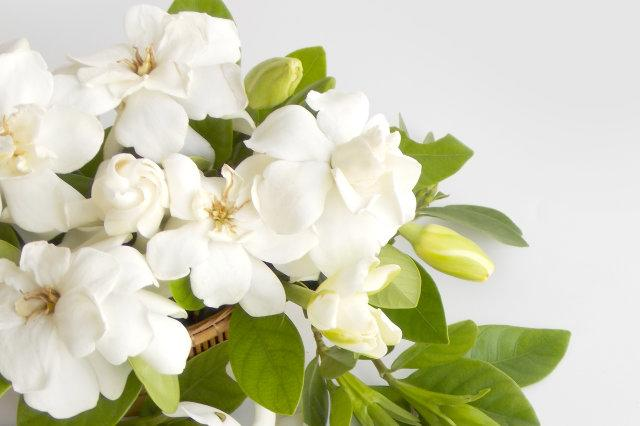 Beautiful gardenia flower