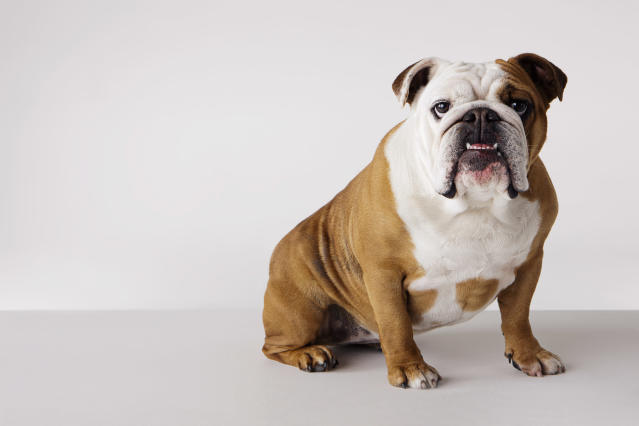 A couple in NYC is getting ready to battle in court over the ex-husband's neglecting to pay thousands in support of their English bulldog Lola (not pictured). (Photo: Getty Images)