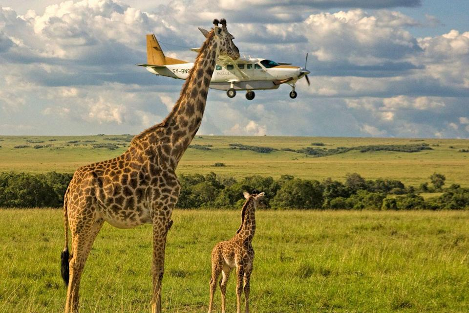 "<p>That giraffe must have really wanted to say ""what's up?"" to the passengers on that plane. </p>"