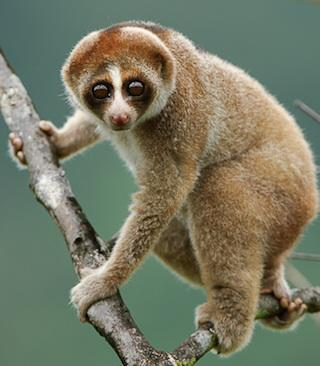 New Toxic Nocturnal Primate Species Discovered
