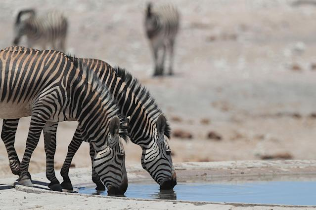 <p>Zebras drink from the Renostervlei watering hole in the Dolomite section of Etosha National Park. (Photo: Gordon Donovan/Yahoo News) </p>