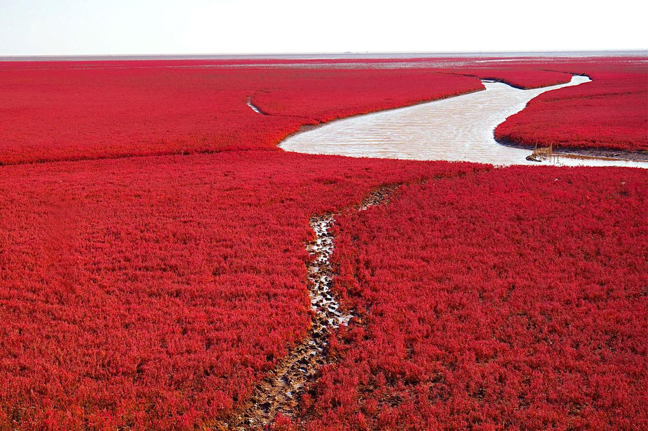 <p>Suaeda salsa plants create this crimson hue at Red Beach in Dawa County, Panjin, Liaoning, China // Date unknown</p>