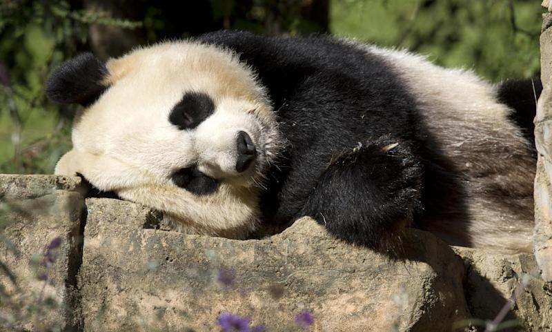 FILE - In this Oct. 11, 2012 file photo, Mei Xiang, a giant female panda, rests at the National Zoo in Washington. The National Zoo says breeding season has arrived for the giant pandas after a cub was born last year but died six days later. The zoo said Wednesday that female panda Mei Xiang and male panda Tian Tian are showing signs they are ready to breed. Also, Mei Xiang's hormones have been rising.  (AP Photo/Jacquelyn Martin, File)