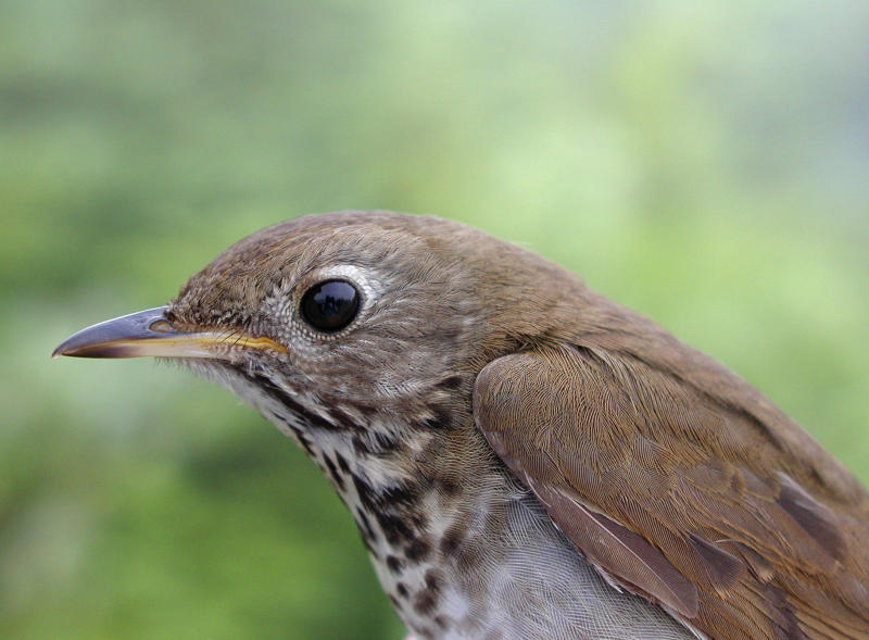 FILE - In this July 2005 file photo released by the Vermont Center for Ecostudies, a Bicknell's thrush perches on East Mountain in East Haven, Vermont. The songbird that wings its way each year from austere mountaintops of the northeastern U.S. to the steamy forests of the Caribbean has inspired the creation of what conservationists hope will be a new model for nature reserves in the Dominican Republic, a country that has long struggled with deforestation. (AP Photo/Vermont Center for Ecostudies, Steven D. Faccio, File)