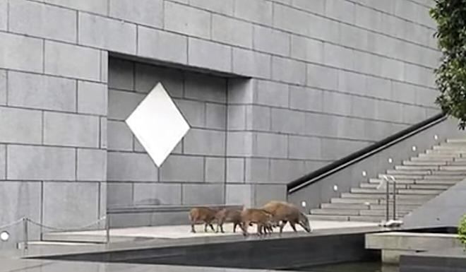 The wild boars examine a pool outside Bank of China's Hong Kong headquarters before taking a dip on Thursday. Photo: YouTube