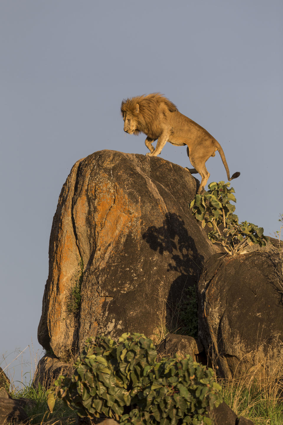 A lion atop a rocky point in the Kidepo Valley National Park in Uganda. (Photo: Will Burrard-Lucas/Caters News)