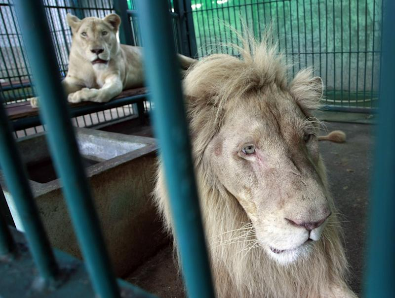 Police arrest Thai pet shop owner with rare lions