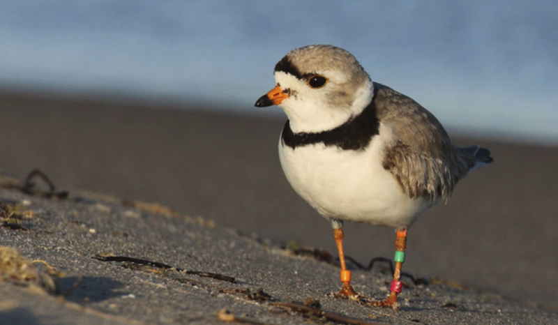 Chicago music festival canceled due to presence of endangered birds