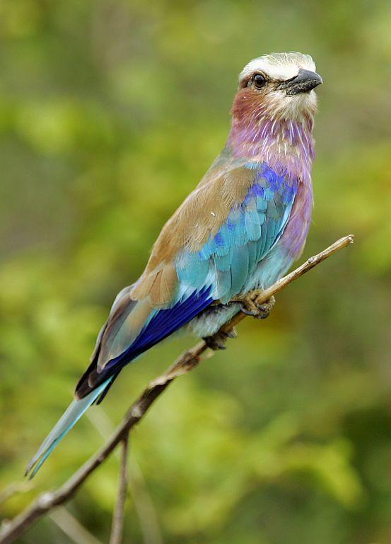 A lilac-breasted roller sits on a branch in Kruger Nartional Park near Hazyview, Mpumalanga, South Africa.