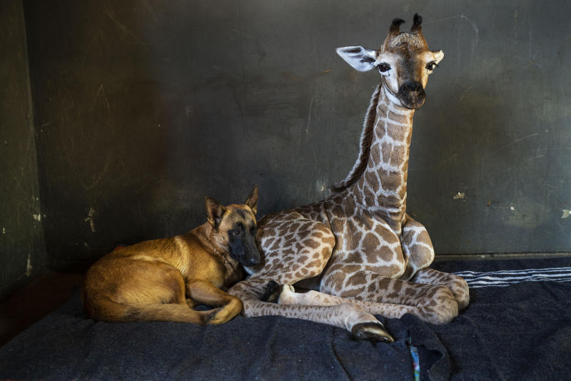 REPLACES HIS INSTEAD OF HER - FILE - In this Friday Nov 22, 2019 file photo, Hunter, a young Belgian Malinois, keeps an eye on Jazz, a nine-day-old giraffe at the Rhino orphanage in the Limpopo province of South Africa. Jazz, who was brought in after being abandoned by his mother at birth, died of brain hemorrhaging and hyphema it was announced Friday, Dec. 6, 2019. (AP Photo/Jerome Delay)
