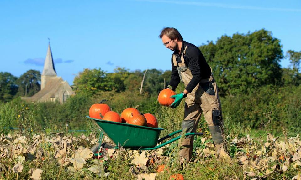 Tomas Spalovsky during the harvest of 40,000 Pumpkins at Spilman's pick your own Pumpkin Farm, near Thirsk in North Yorkshire.