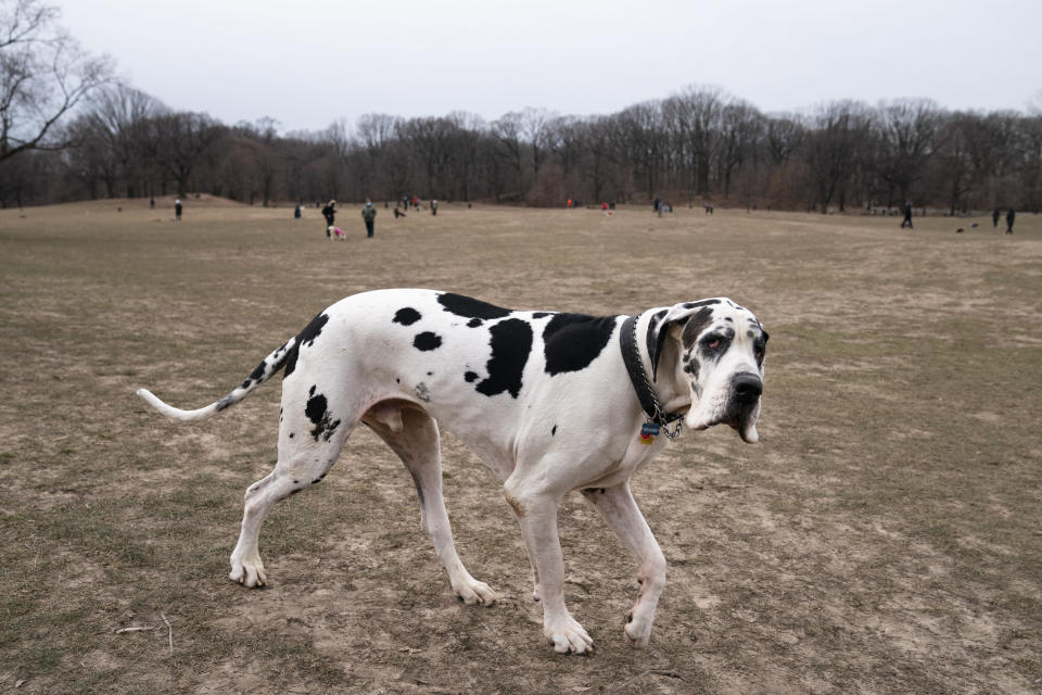 Moose, a great Dane, enters a Long Meadow during off-leash hours for dogs and their owners, Sunday, Jan. 31, 2021, in the Brooklyn borough of New York. Go to any dog park right now and you'll probably find lively pandemic puppies, along with new owners learning the ins and outs of off-leash play. One of the silver linings of the pandemic is that many people are discovering the joys of dog ownership. (AP Photo/John Minchillo)