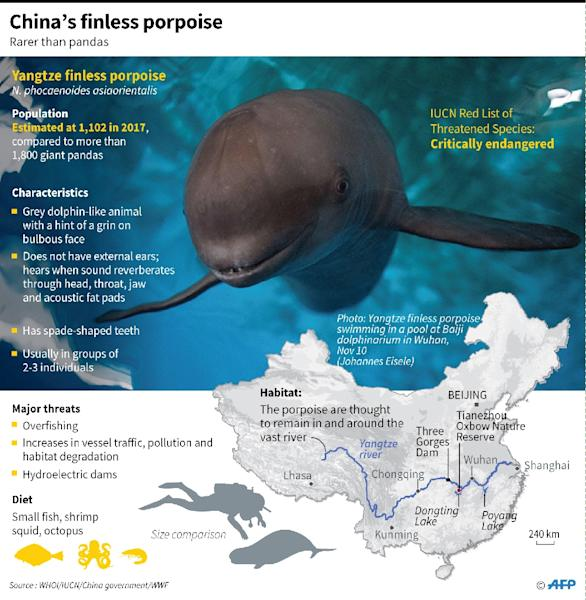 Factfile on the critically endangered Yangtze finless porpoise. (AFP Photo/Gal ROMA)