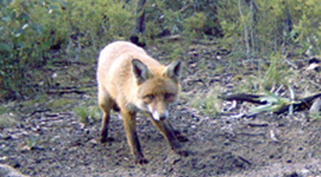 The website states that eligible applicants must submit an 'entire' fox scalp including both ears, the skin surrounding both eyes and the nose. Source: Agriculture Victoria