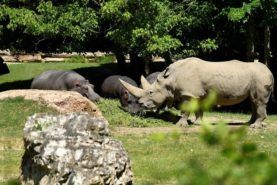 """A handout photograph realesed by the zoo """"Parco Natura Viva"""", on October 12, 2021 shows Toby, the world's oldest white rhino, in its enclosure at the at the zoo in Bussolengo, near Verona, in northern Italy, on April 18, 2019."""