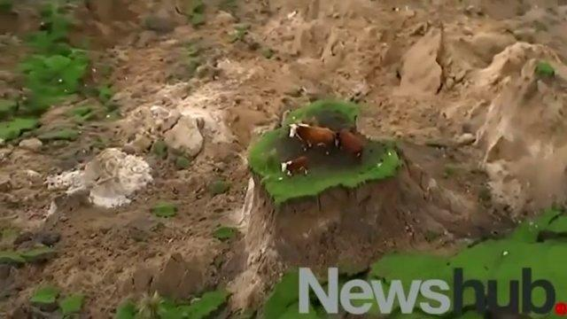 Cows rescued after being stranded in New Zealand earthquake