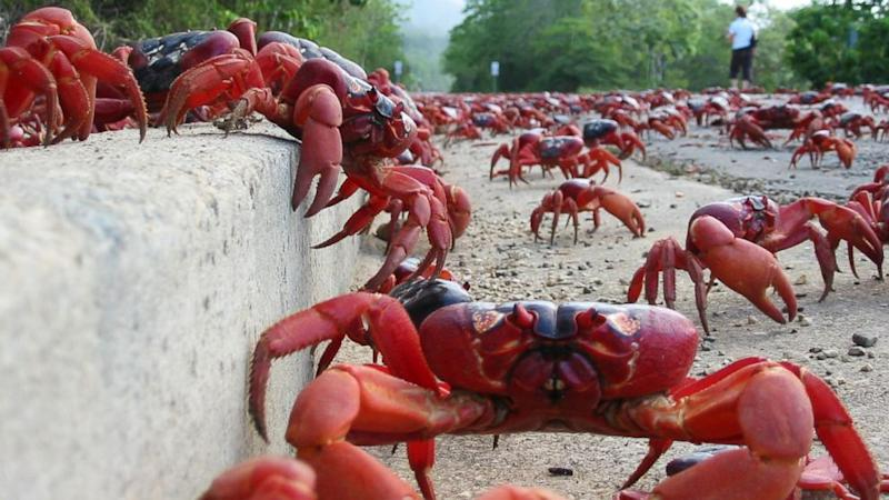 Crustacean Invasion! Millions of Red Crabs Move Onto Christmas Island