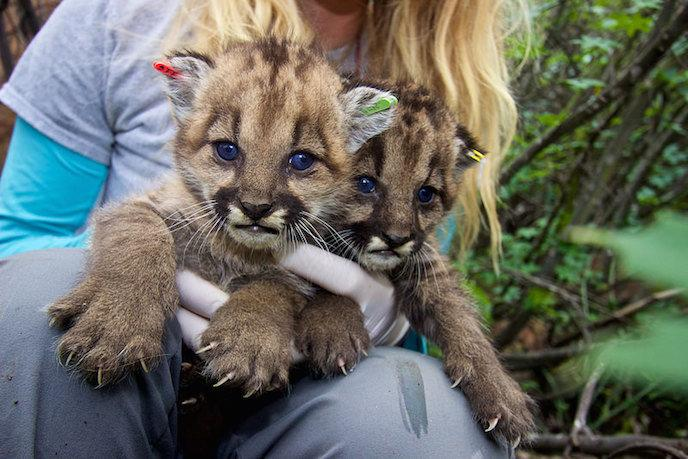 P-23's kittens from her first litter, P-36 and P-37, were later attacked and eaten by an adult male mountain lion in 2015. (National Park Service)
