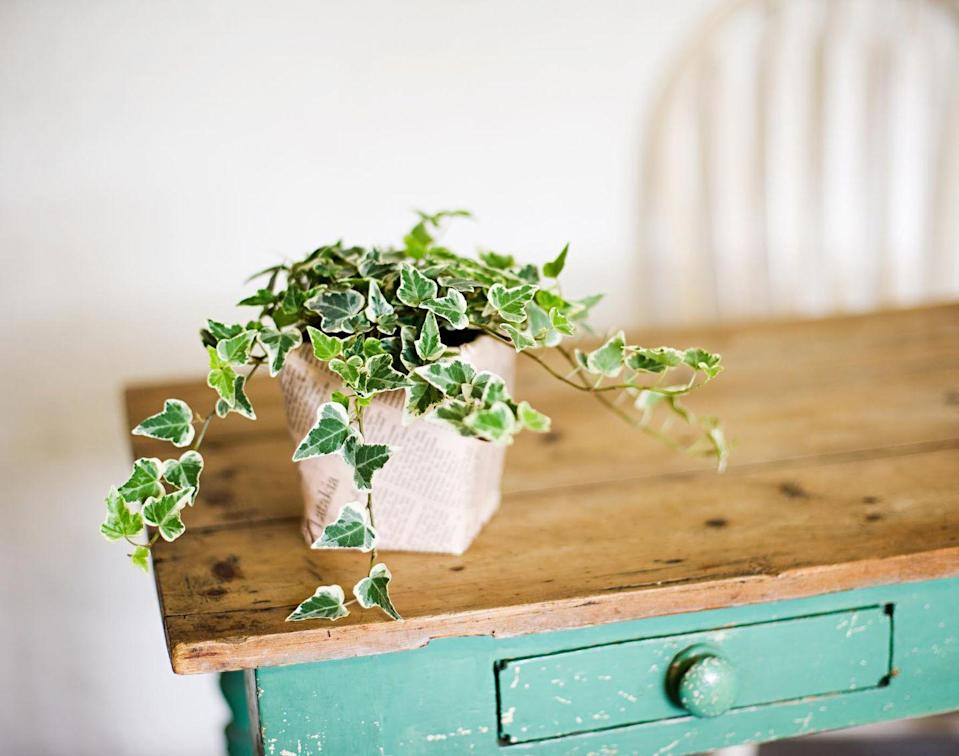"""<p><a class=""""link rapid-noclick-resp"""" href=""""https://www.amazon.com/AMERICAN-PLANT-EXCHANGE-Variegated-English/dp/B07N4MBM6J?tag=syn-yahoo-20&ascsubtag=%5Bartid%7C10057.g.3716%5Bsrc%7Cyahoo-us"""" rel=""""nofollow noopener"""" target=""""_blank"""" data-ylk=""""slk:BUY NOW"""">BUY NOW</a> <strong><em>$20, amazon.com</em></strong></p><p>When you first start growing these vines you should water them frequently. Once they're established, they can tolerate dry conditions. Even better: They do well in cooler temps. Good thing offices are notorious for being chilly.</p>"""