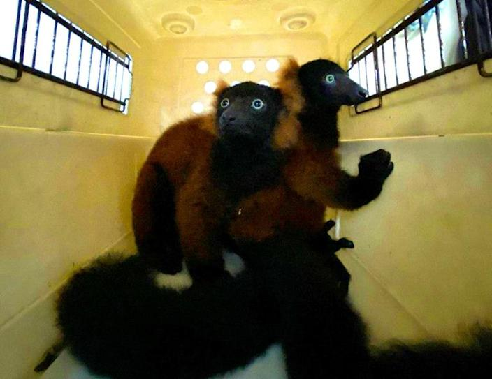 The twin red-ruffed lemurs are moved in a pet-carrier to a vet for check-up in this picture relased by Wildlife Reserves Singapore (AFP Photo/Handout)