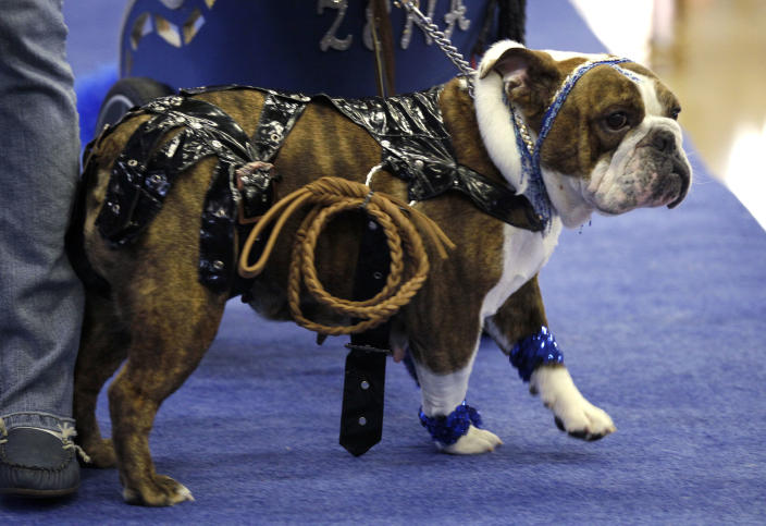Zena the Warrior Princess, owned by Cindy Driscoll, of Cedar Rapids, Iowa, walks across the stage during the 33rd annual Drake Relays Beautiful Bulldog Contest Monday, April 23, 2012, in Des Moines, Iowa. The pageant kicks off the Drake Relays festivities at Drake University where a bulldog is the mascot. (AP Photo/Charlie Neibergall)