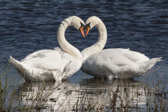 PIC FROM HANS DAVIS / CATERS NEWS - (PICTURED Swan Heart at Rutland Waters in October) With Valentines Day just around the corner its the time of year when love is in the air but as these pictures prove - its all over the earth too. These extraordinary images, taken by photographers across the globe, show Mother Nature is also gearing up to celebrate the big day with iconic heart shapes appearing all over the natural world. The charming pictures capture Mother Natures romantic side and feature several signs of love including an adorable fluffy penguin with a white heart emblazoned on its chest. Other natural displays include a flamingo creating a heart shape with its white and pink plumage and two swans which appear to kiss as they form a heart shape with their necks. SEE CATERS COPY