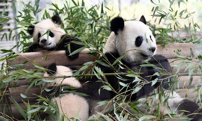 Berlin panda cubs Meng Yuan and Meng Xiang will remain out of public view.