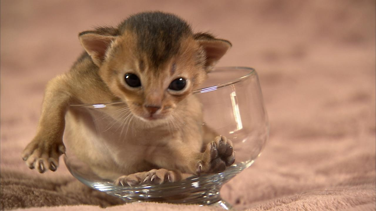 """An Abyssinian kitten featured on Animal Planet's """"Too Cute! Kittens."""""""