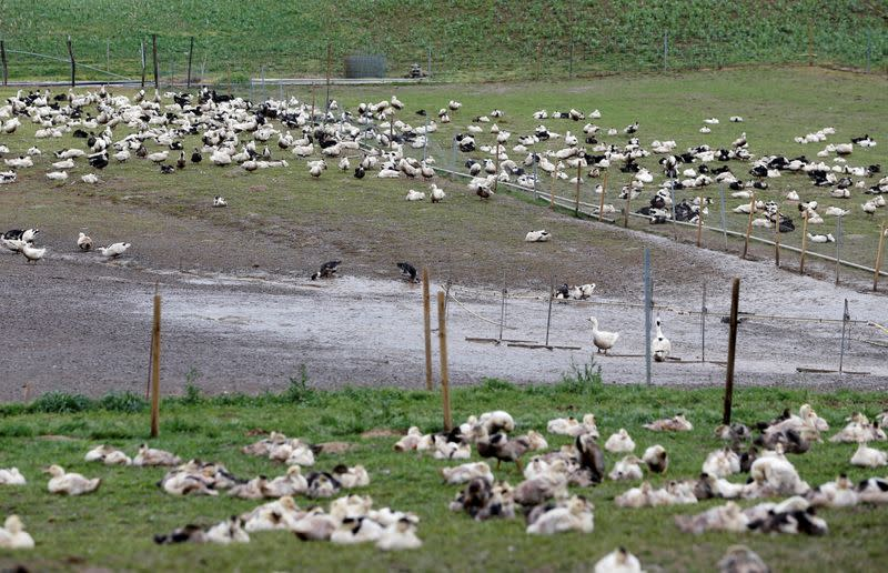FILE PHOTO: Ducks are pictured in a field at a poultry farm in Montsoue as France continues a massive cull of ducks in three regions most affected by a severe outbreak of bird flu
