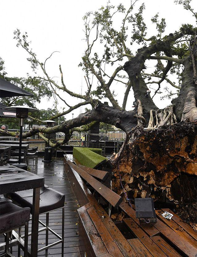 An iconic 100-year-old fig tree ripped from its roots in a Brisbane beer garden. Photo: 7News