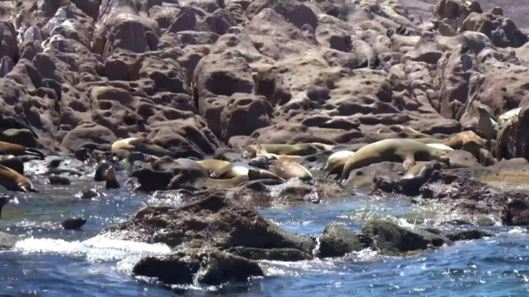 A colony of California sea lions off the coast of Mexico stands out among others because its numbers are growing (AFP/Joel COSSIO)
