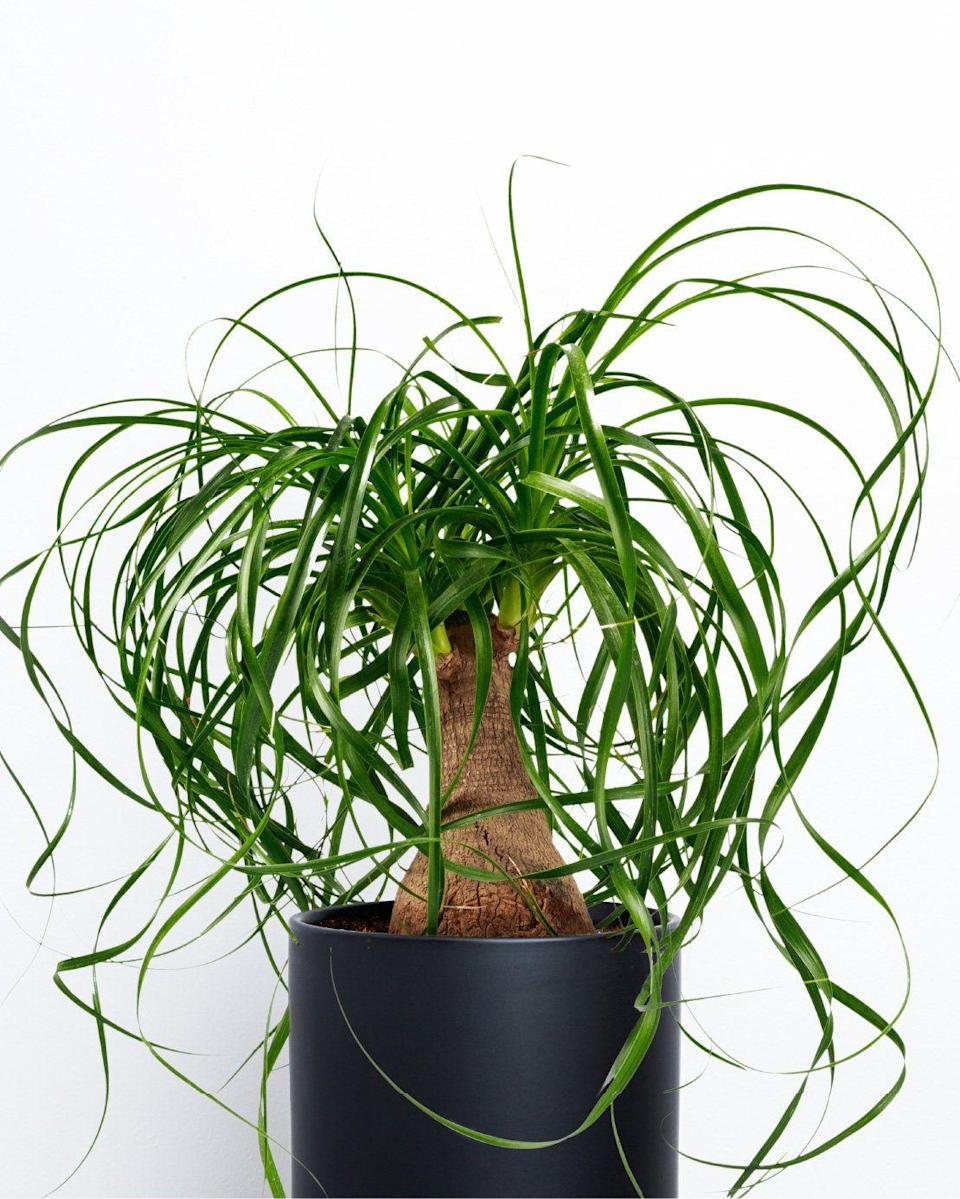 """<p><strong>Green Digs</strong></p><p>shopgreendigs.com</p><p><strong>$54.99</strong></p><p><a href=""""https://shopgreendigs.com/products/ponytail-palm-plant?variant=34954453450797"""" rel=""""nofollow noopener"""" target=""""_blank"""" data-ylk=""""slk:SHOP NOW"""" class=""""link rapid-noclick-resp"""">SHOP NOW</a></p><p>Ever wanted to pretend your teensy bedroom was a 5-star resort on Turks and Caicos? You and your cat can finally <del>live</del> fake a life of luxury.</p>"""